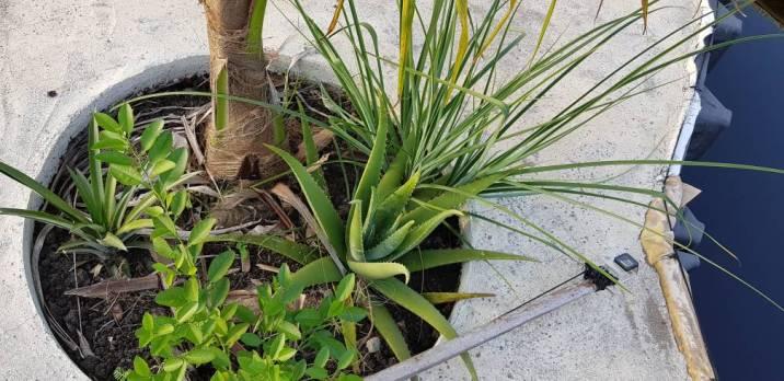 La plante d'aloès