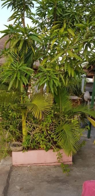 Manguier et palmier